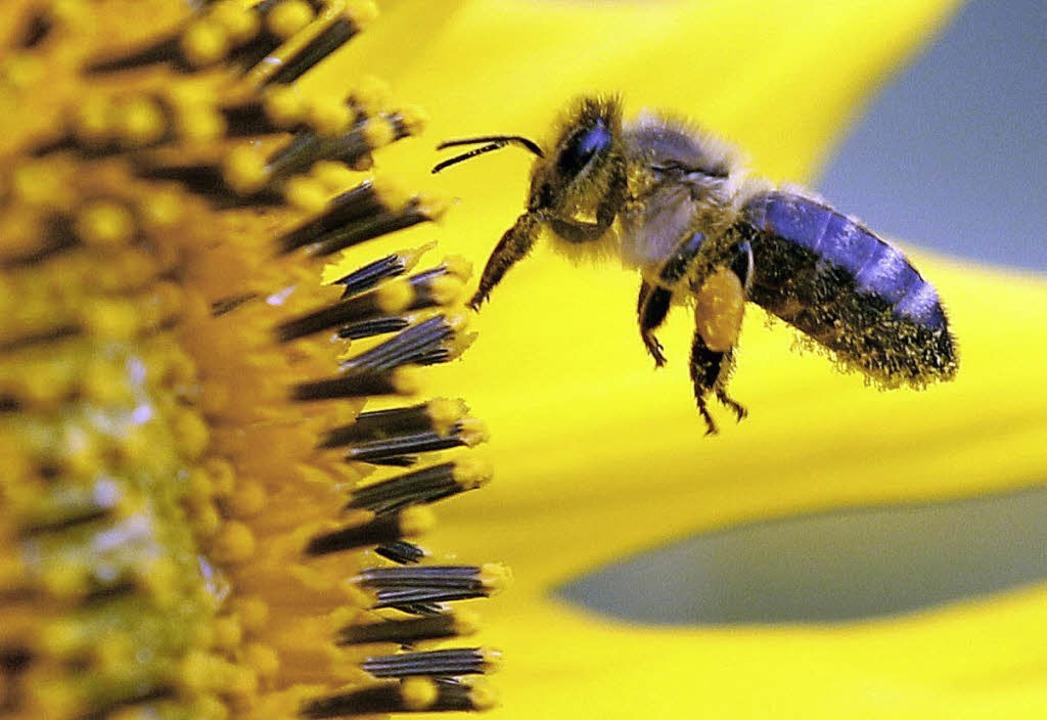 Ohne Bienen keine Blüten und ohne Blüten keine Bienen.   | Foto: dpa