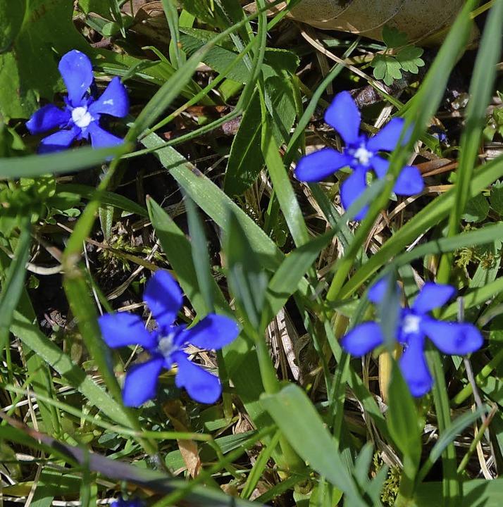 Frühlings-Enzian und <ppp></ppp>  | Foto: Juliane Kühnemund