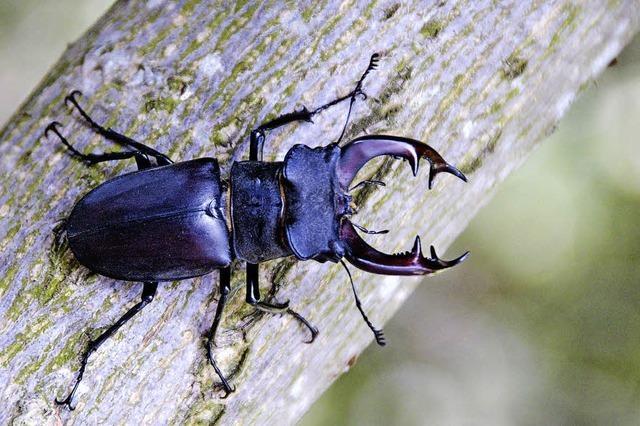 NABU Lörrach gewährt Blick in die Welt der Käfer