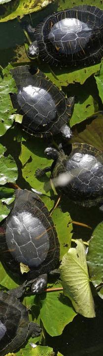 Schildkrötenstau im Freiburger Flückigersee     Foto: Oliver Huber