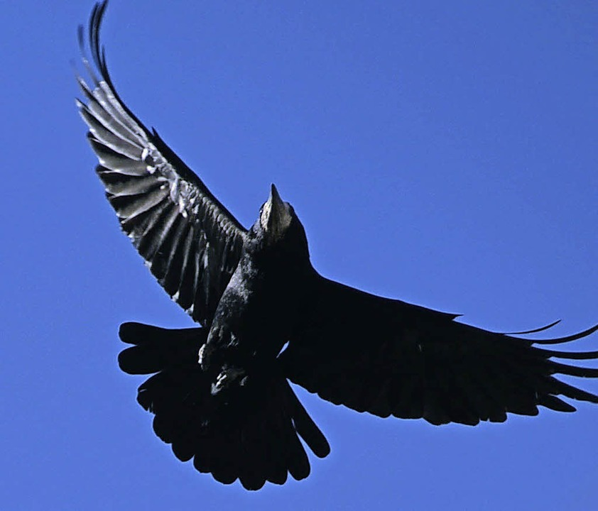 Pechschwarzes, glänzendes Gefieder und...envögel gehören längst zum Stadtbild.     Foto: Henry Balaszeskul