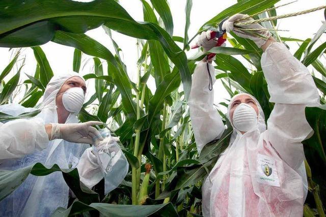 Monsanto gibt Kampf für Genmais in Europa auf