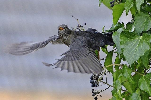 Stadtleben macht Vögel zu Frühaufstehern