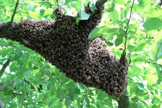 Bienenschwarm rastet in Ringsheimer Garten