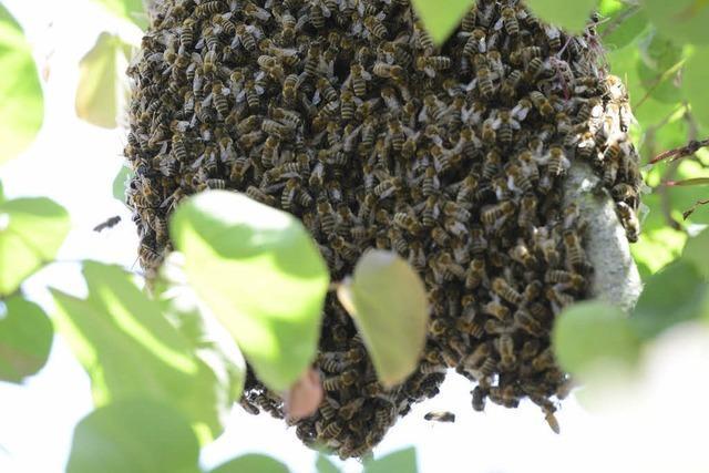 Zwei Bienenschwärme halten Freiburger Feuerwehr auf Trab