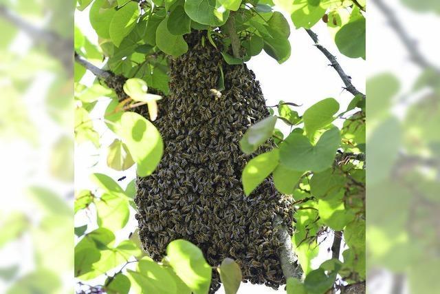 Bienen sorgen für Schwarm-Alarm in der Altstadt
