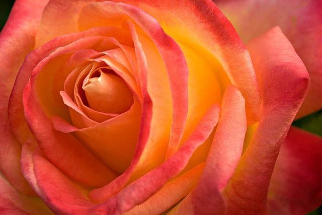 Die Lahrer Rosenwoche beginnt