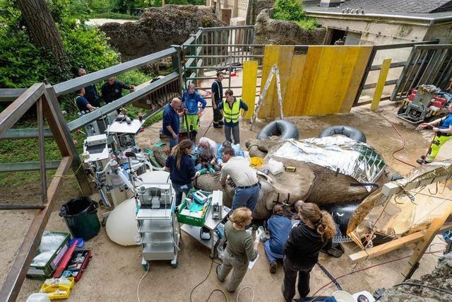 Großeinsatz im Zoo Basel: Stoßzahn von Elefant Yoga entfernt