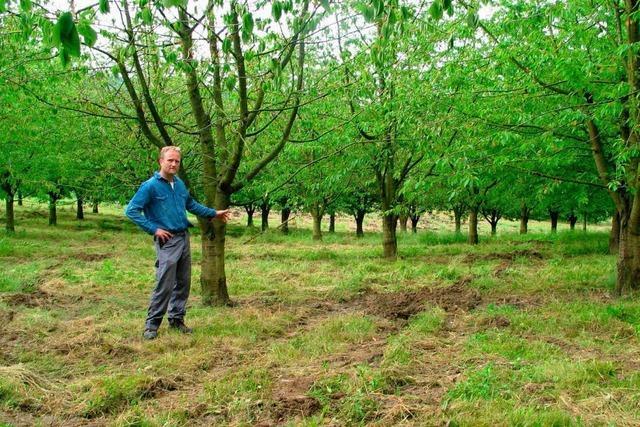 Rund 200 Kirschbäume müssen gerodet werden