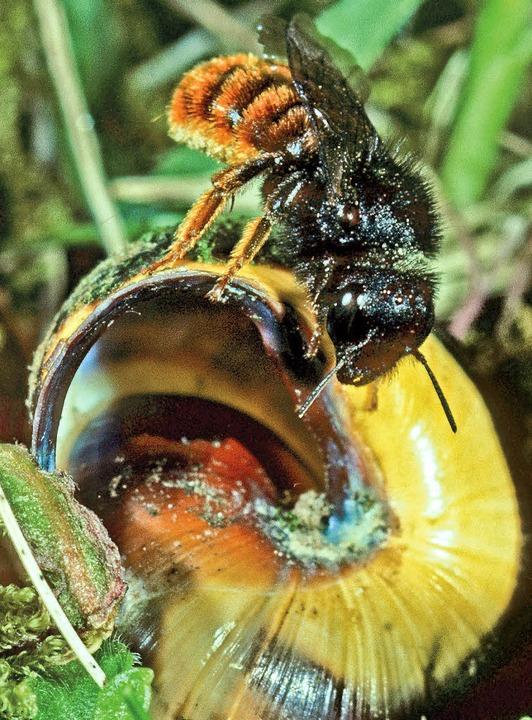 Sorgt für eine gemütliche Inneneinrichtung: die Zweifarbige Schneckenhausbiene.  | Foto: heiko bellmann