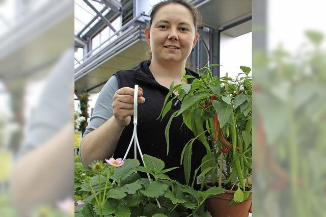 Auf dem Balkon wächst auch Gemüse