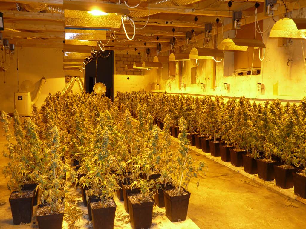January 2018 marihuana in deutschland - Hanf zimmerpflanze ...