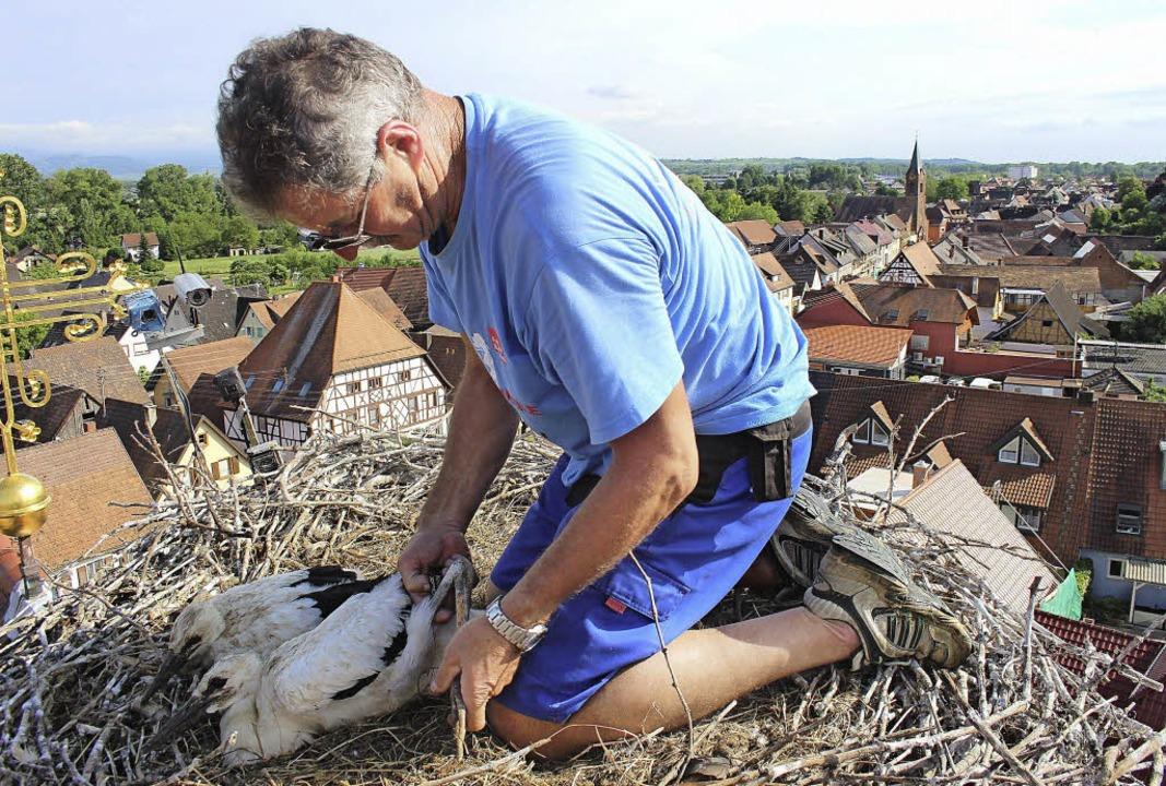 Beim Beringen der Jungstörche auf dem ... Breisgau, dass er schwindelfrei ist.   | Foto: horst david