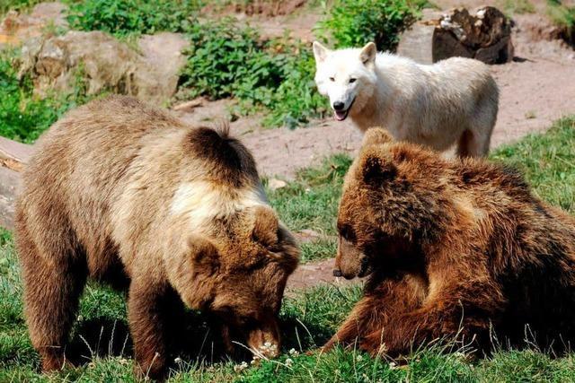 Wildparadies Tripsdrill: Bär tötet Wolf vor Zuschauern
