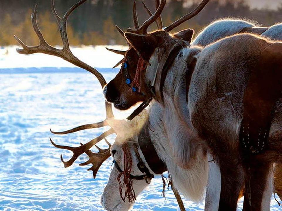 Norwegen diskutiert über die Rentiere.   | Foto: Melnikov (Fotolia.com)