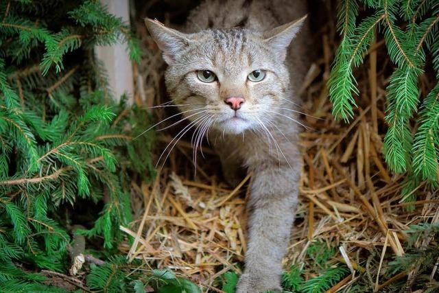 Immer mehr verwilderte Hauskatzen streunen durchs Stadtgebiet