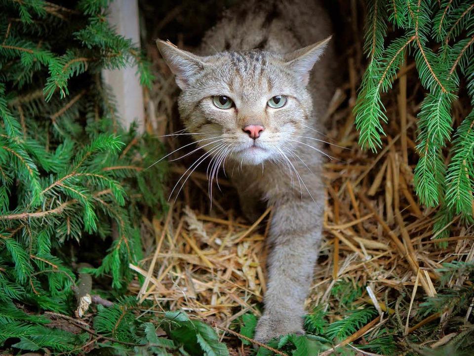 Sie ist selten, aber lebt auch im Raum Lörrach: die Wildkatze  | Foto: DPA