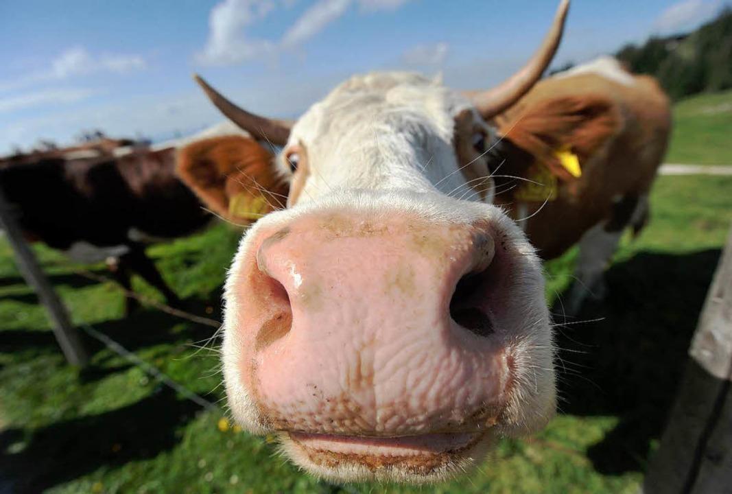 Müssen regelmäßig gefüttert werden: Kühe     Foto: dpa
