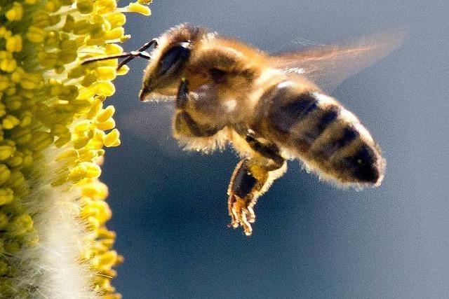 Unbekannter vergiftet Bienenstöcke – 150.000 Tiere sterben
