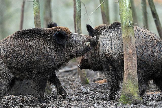 Der Aargau hat genug von den wilden Schweinereien