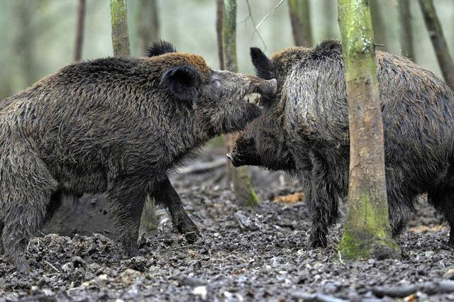 Aargau hat genug von der Schweinerei