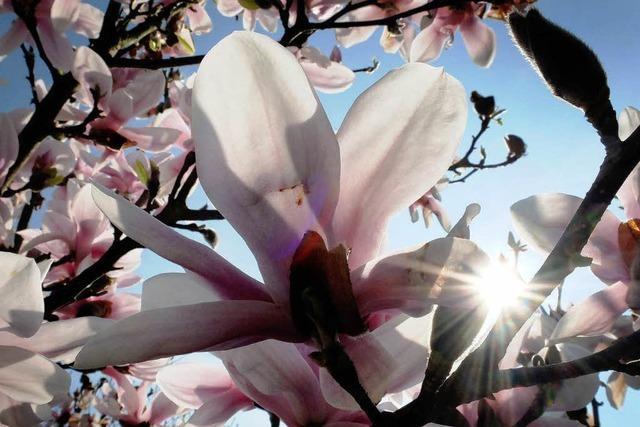 Magnolien als Marke