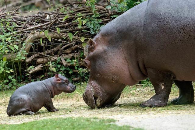 Basler Zolli freut sich über Flusspferd-Baby