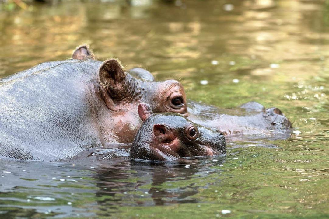 Flusspferd Helvetia hat Nachwuchs bekommen.    Foto: BZ