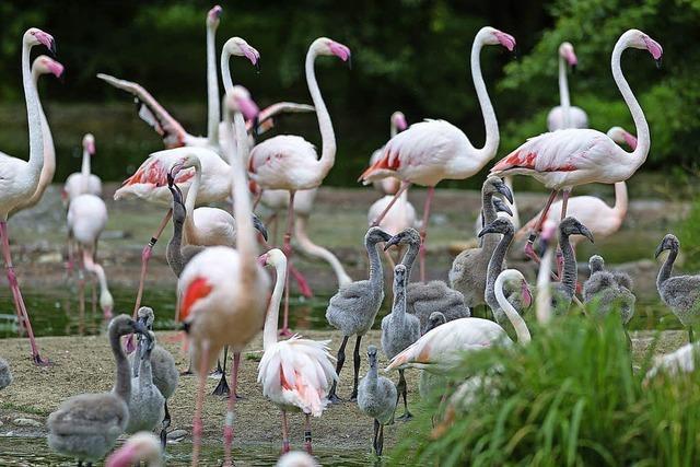 Flamingos im Basler Zoo: Küken im Kindergarten