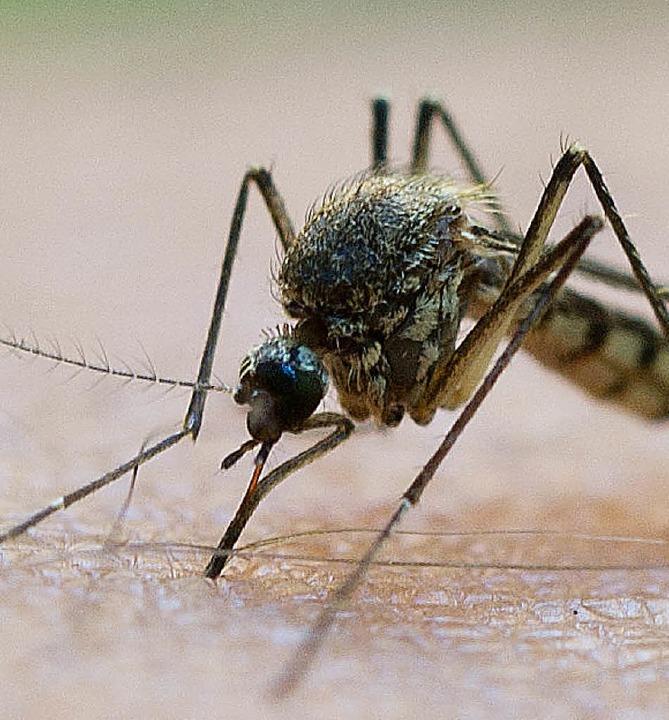 Durch Bakterien lässt sich die Mückenplage eindämmen.   | Foto: dpa