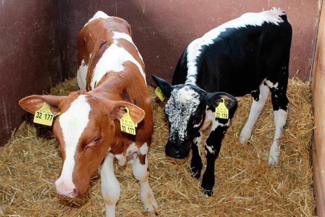 Kuh bringt Kälber von zwei Bullen zur Welt