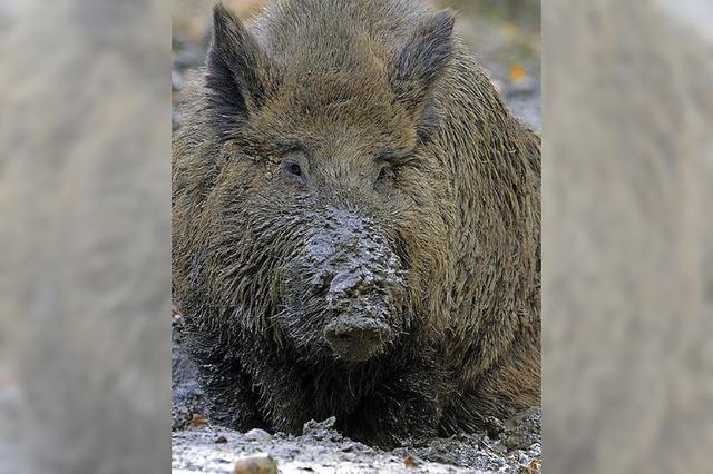 Die Wildschweine strahlen noch