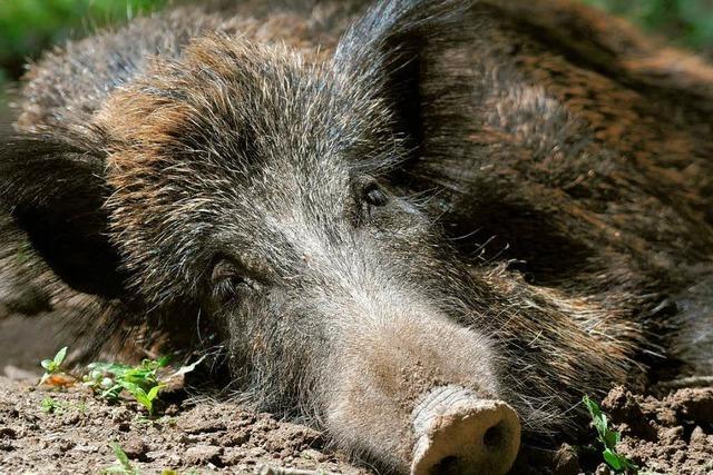 Viele Wildschweine sind noch immer radioaktiv belastet