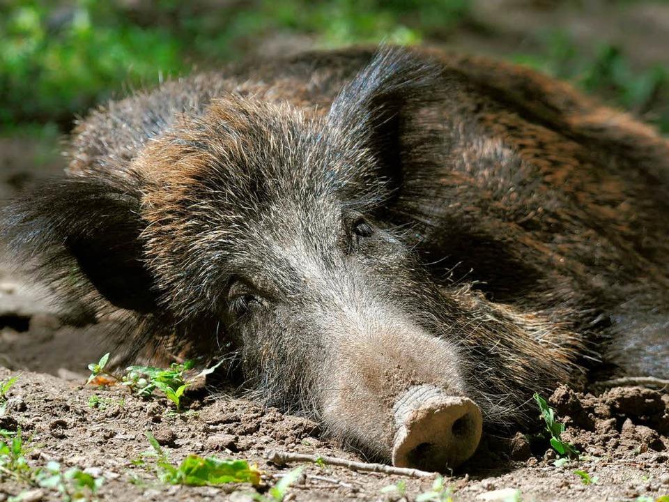Halbwert-Mahlzeit: Wildschweine lieben Trüffel, auch radioaktive.  | Foto: dpa
