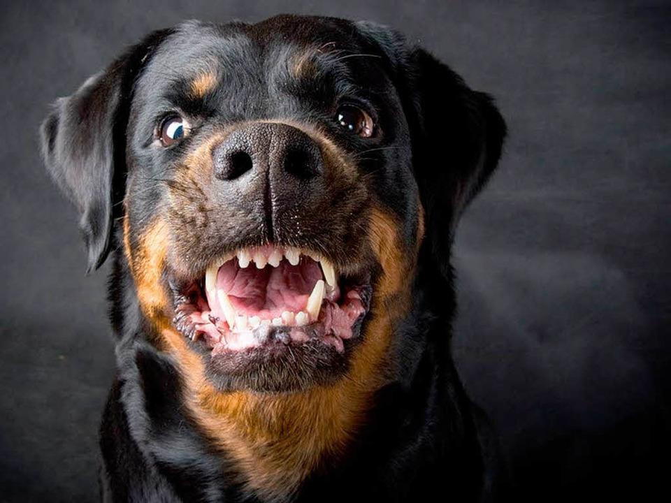 Ein Rottweiler hat am Dreisamufer eine Frau angegriffen (Symbolfoto).    Foto: TMakotra / Fotolia.com