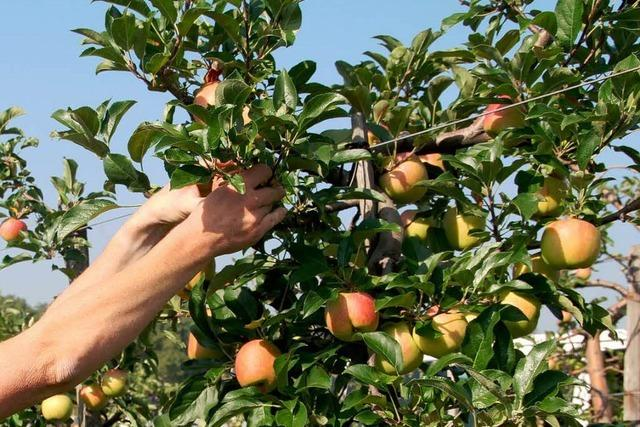 Dreiste Diebe: Obstklau im Markgräflerland ufert immer mehr aus