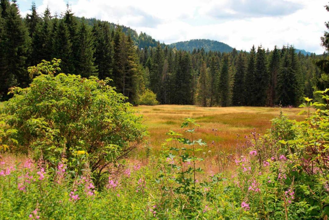 Das Hinterzartener Moor ist mit seinen 70 Hektar das größte Moor im Schwarzwald.  | Foto: Ute Maier