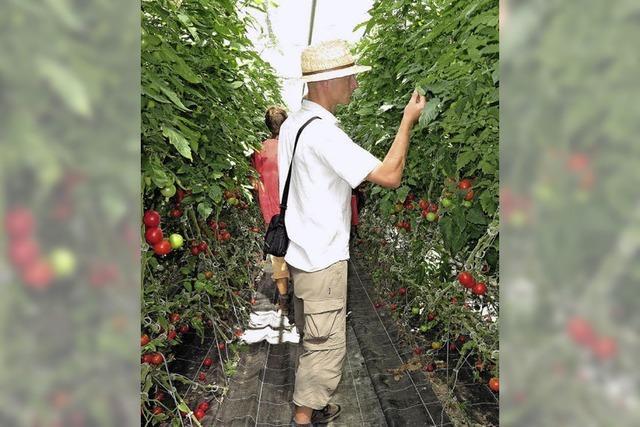 Tomate Pilu und Möhre Milan