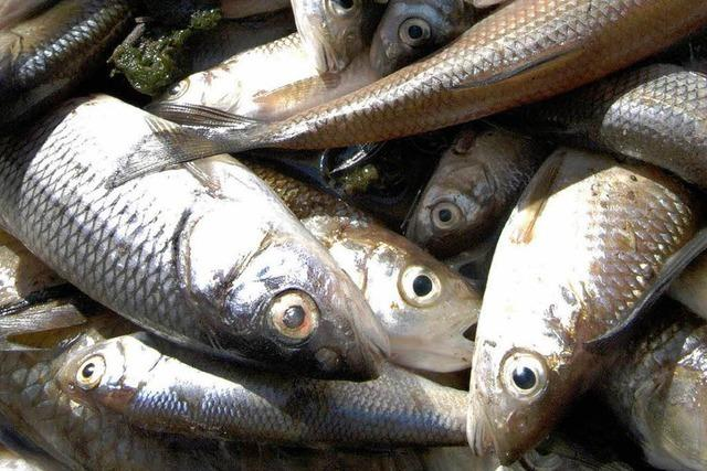 Fischsterben bleibt rätselhaft: Wie kam das Nitrit in die Brigach?