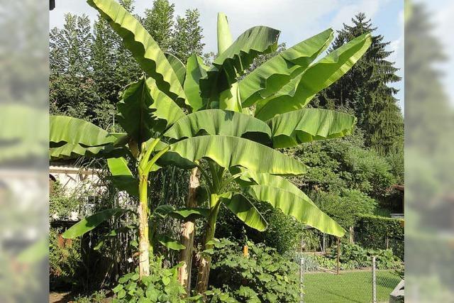 Die Bananenstaude trägt dieses Jahr so viele Früchte wie noch nie