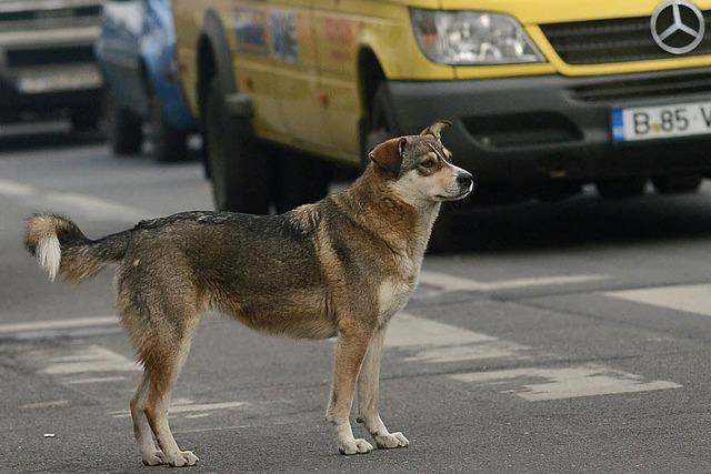 Rumänien will Straßenhunde töten