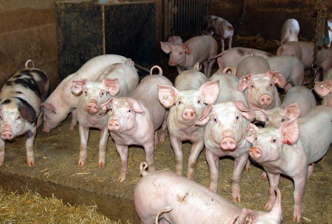Beim Museumsfest am Sonntag auf dem Freihof dreht sich alles um das Schwein.   | Foto: Pia Grättinger