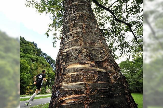 Holzkorsett soll Bäume vor Slacklining-Gurten schützen