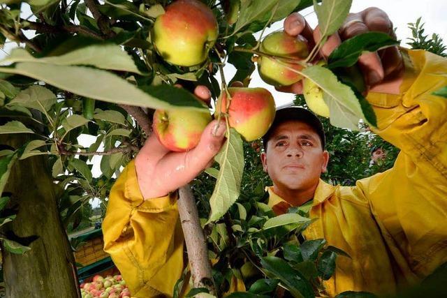 Obstbauern: Früchte werden körbeweise gestohlen