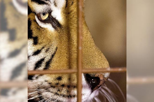 Keine Tiger mehr in Zoos?