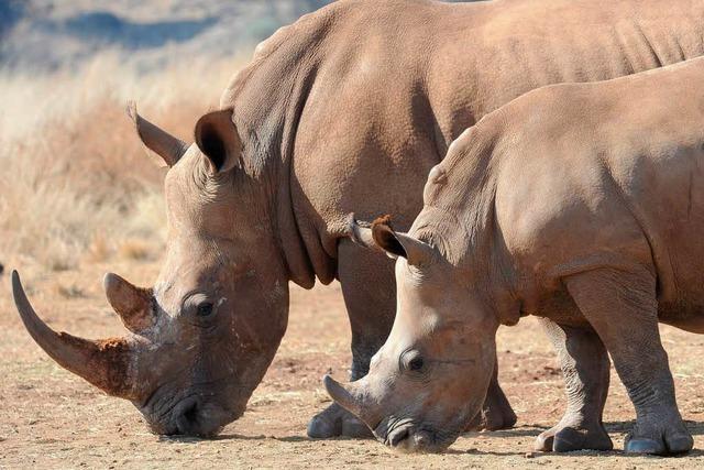 Nashorn-Krieg im Krüger-Nationalpark