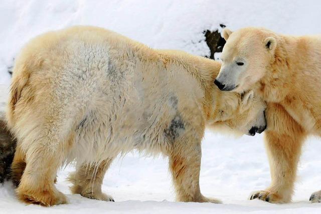 Eisbären ändern ihr Fressverhalten