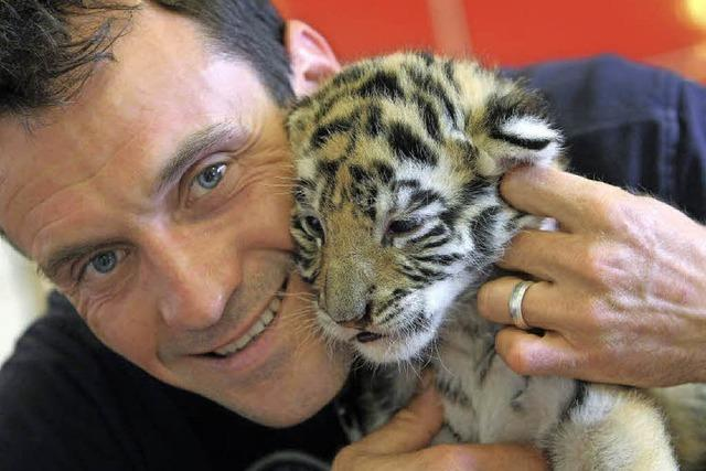 Das Alphatier in der Tigerbande