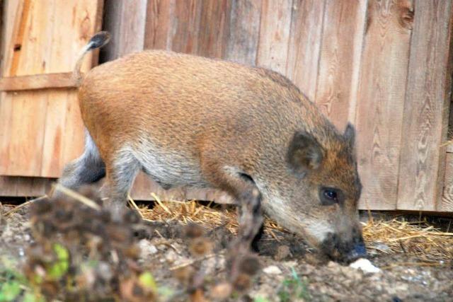 Sauerei! Hausschwein paart sich mit einem Wildschwein