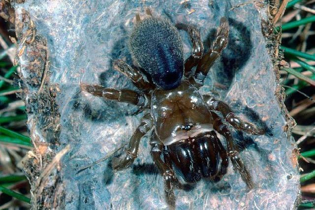 Eine Spinne, die ihre Wohnung mit Seide tapeziert